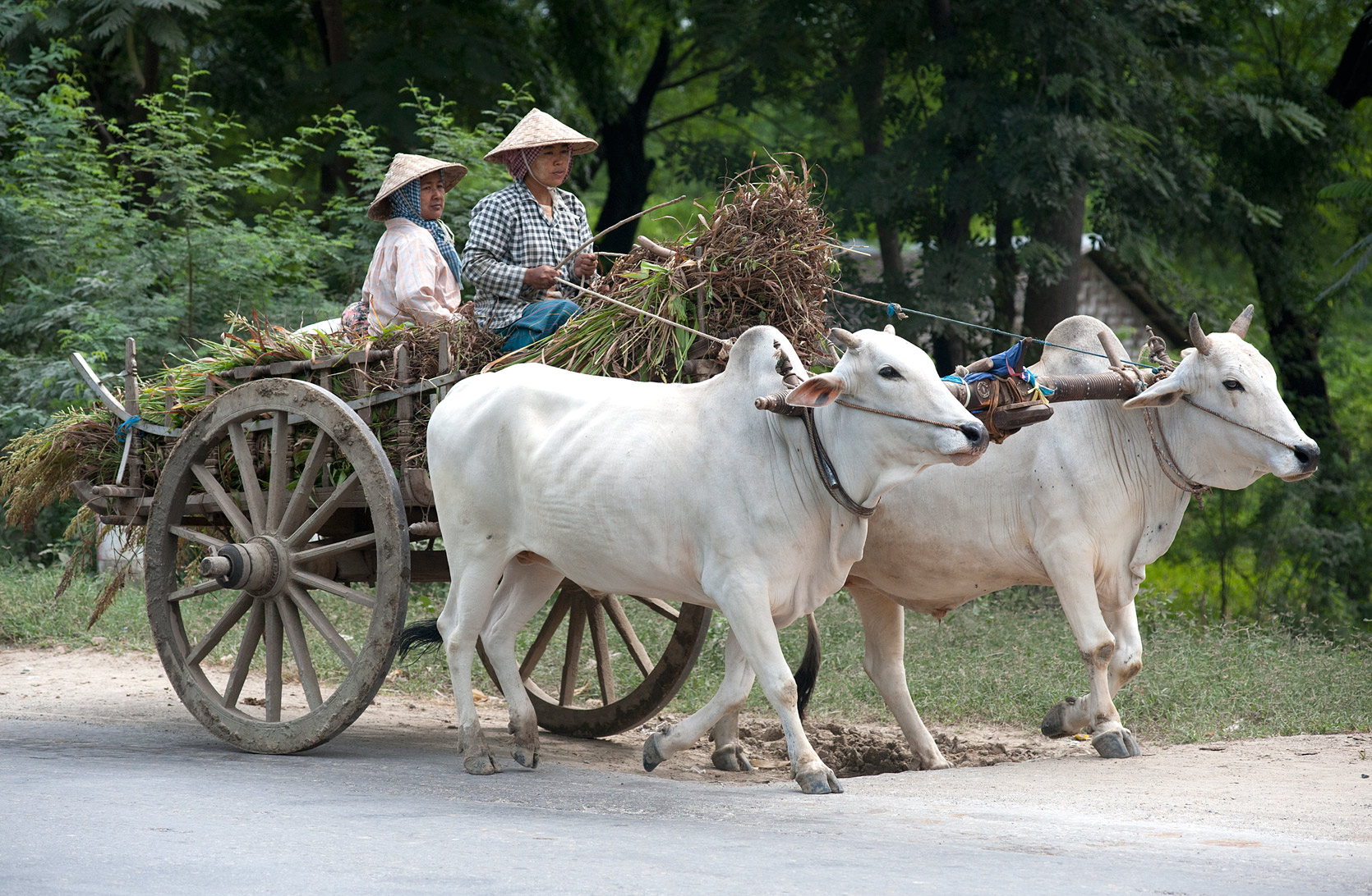 Two women driving wooden wheeled cart pulled by two white bullocks, on the road to Monywa, Sagaing Division, Myanmar.