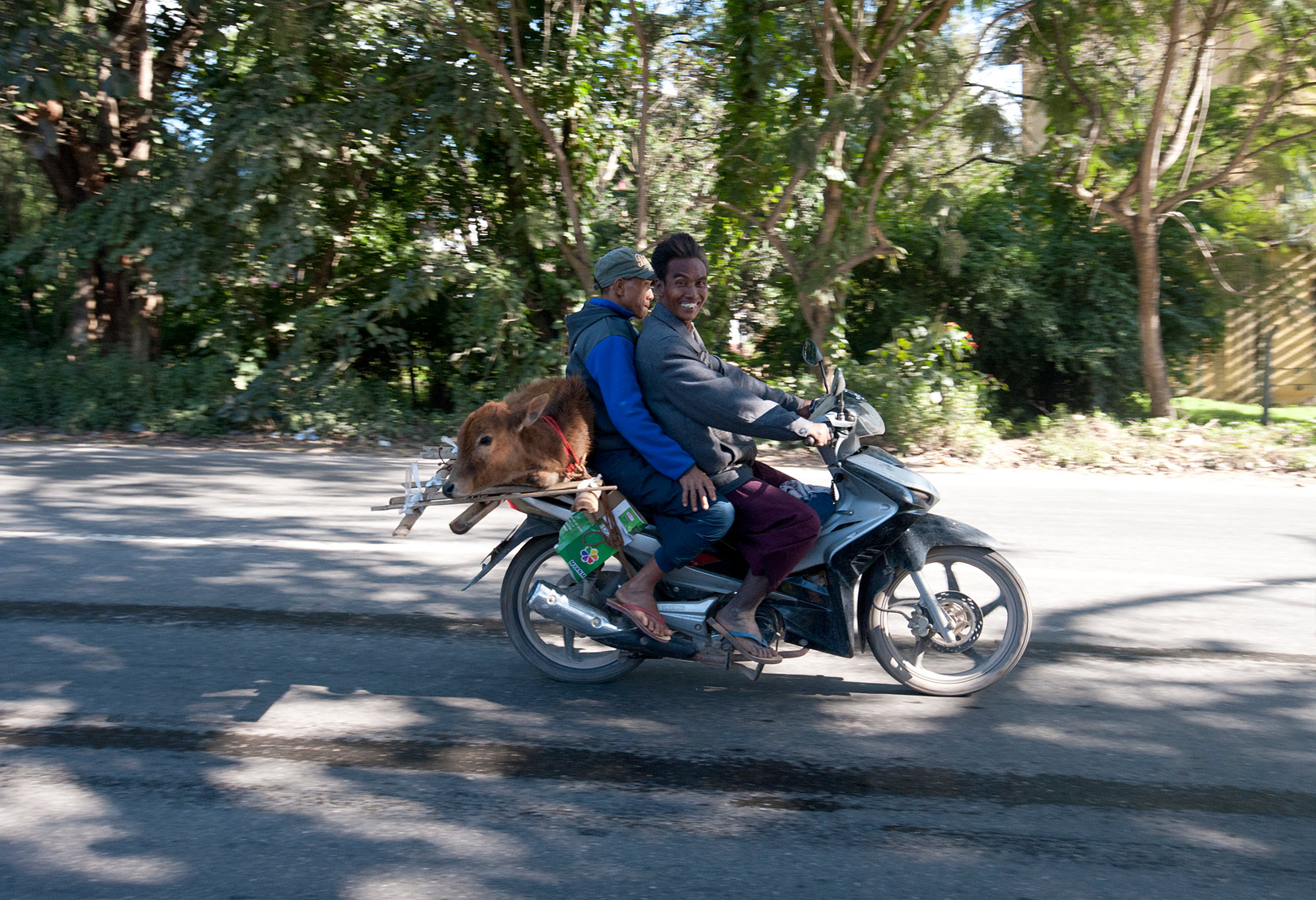Two men, driver grinning, carrying a live calf on a motorbike travelling at speed on the road to Mandalay.