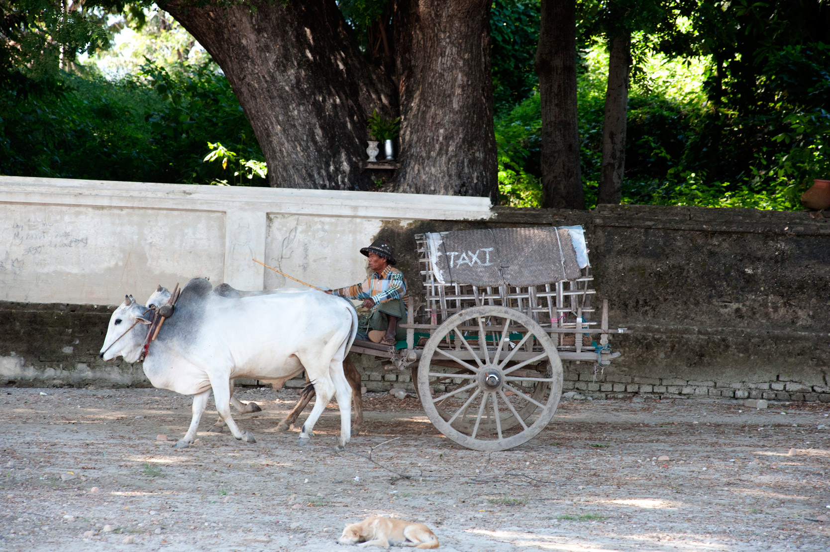 White bullock cart painted with the word 'taxi' offering rides to visiting tourists, Mingun, Mandalay.